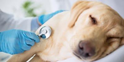 Wichtige Informationen, wenn die Bauchspeicheldrüse beim Hund entzündet ist