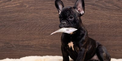 Black french bulldog with dollar in his mouth