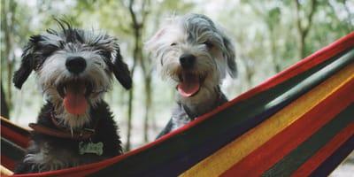Psy na hamaku