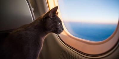 Katze schaut aus Flugzeugfenster