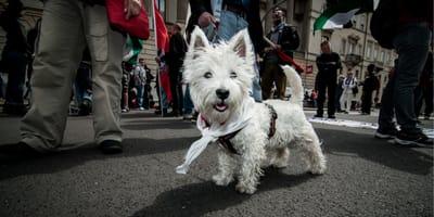 Pies w mieście - czy pies musi być na smyczy i mieć kaganiec?