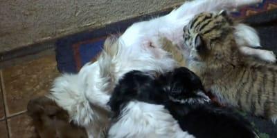 Tygrysiątko znalazło nową mamę! Małego przygarnęła suczka Doby