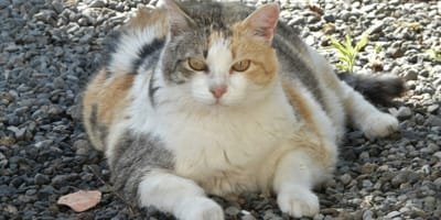 White ginger and grey obese cat with diabetes