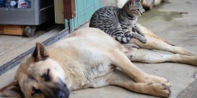 Cane e gatto sdraiati