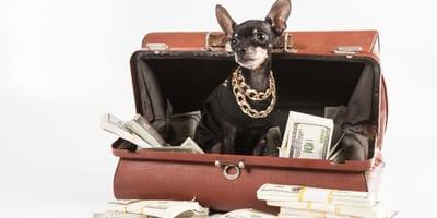 bogaty pies