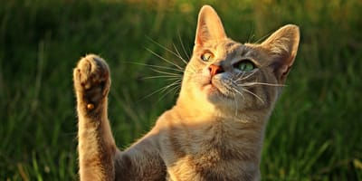 """your cat might be left or right """"pawed"""""""