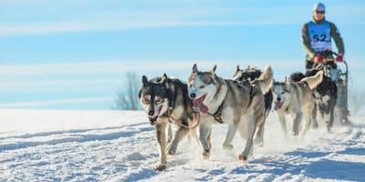 Hunde ziehen Schlitten im Schnee