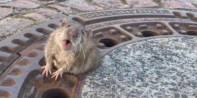 rata salvada por bomberos en Alemania