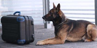 Schäferhund neben Koffer