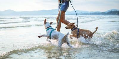 Zwei Hunde mit Herrchen im Wasser am Strand