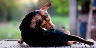 Domowe sposoby na pchły u psa