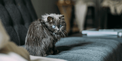 This blue-eyed cat is blind and famous.