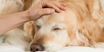 Jak rozpoznać zapalenie gardła lub anginę u psa?