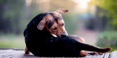 Black and brown dog scratching
