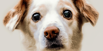 How to treat cloudy eyes in dogs