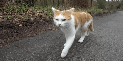 gatto-bianco-e-rosso-che-cammina-all-aperto