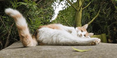 gatto-bianco-e-rosso-sdraiato-con-coda
