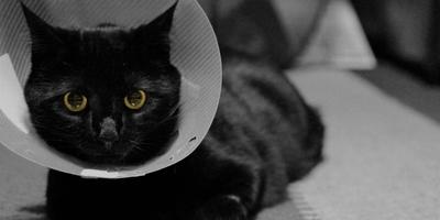 Cos'è e come si mette un collare elisabettiano per il gatto?
