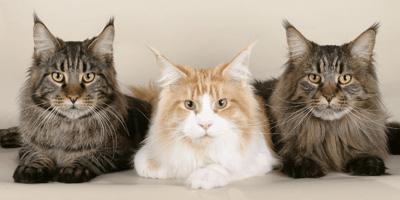Tre-gatti-a-pelo-lungo-sdraiati