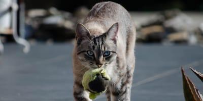 Katze apportiert Ball