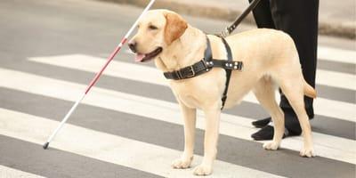 Tutto sul cane guida! Razze, mansioni, addestramento