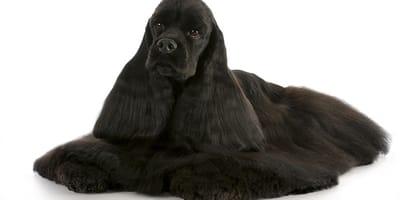 caspa en perros pelaje