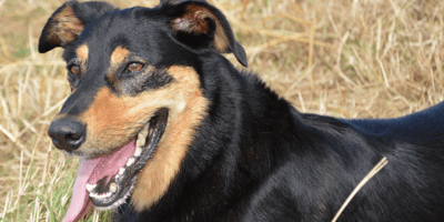 Black and brown dog breeds
