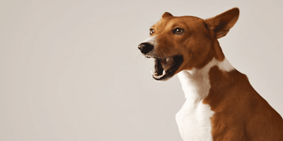 White and brown dog speaking