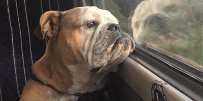 A British bulldog on a British train