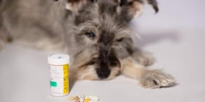 Czy witamina K to antidotum, gdy pies zje trutkę na szczury?