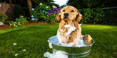 Golden retriever in a bath
