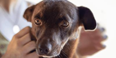 Brown dog looking worried