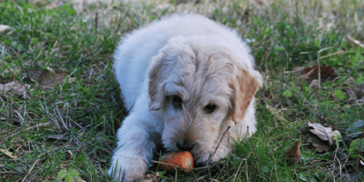 Goldendoodle puppy with a carrot
