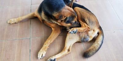 Hai un cane che si lecca i genitali? Ecco perché lo fa!
