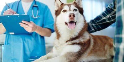 husky in ospedale