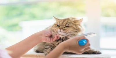 5 trucos para cepillar a un gato de pelo corto