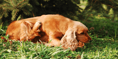 How to spot flea eggs on dogs? Signs and treatment options