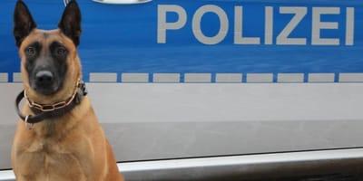 Polizeihund vor Polizeiauto