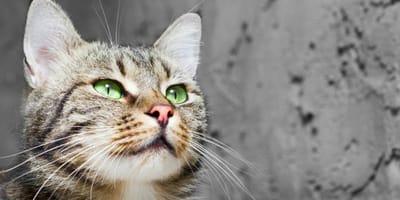 gatto con gli occhi verdi guarda in alto