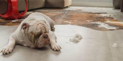 Motivos por los que el perro rasca el suelo