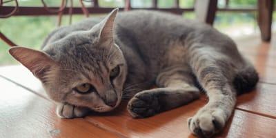 Robaki u kota – jakie są objawy i jakie leczenie podjąć?