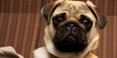 Rasy brachycefaliczne – dlaczego budzą kontrowersje?