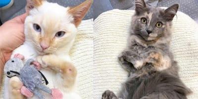 Due gatti con zampa anteriore monca