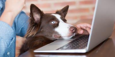 Hund mit Schnauze auf Laptop