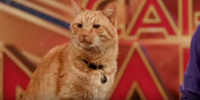 Goose the cat is now a big star