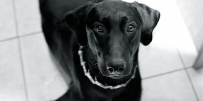 kolczatka dla psa