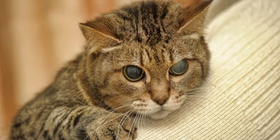 niewidomy kot
