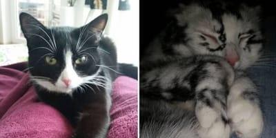 Katze Elli hat die Weißenfleckenkrankheit Vitiligo