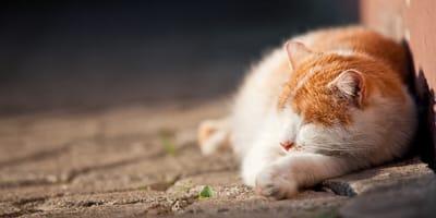 ropień u kota