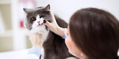 Kamień nazębny u kota - jak zapobiegać? Jak leczyć?